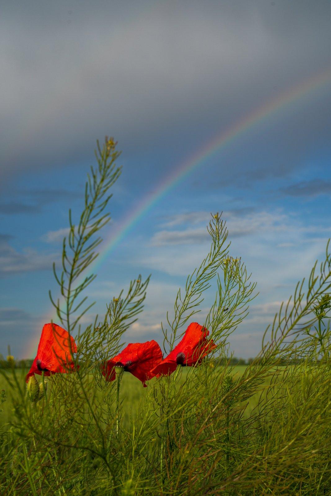 rainbow_and_poppies.jpg